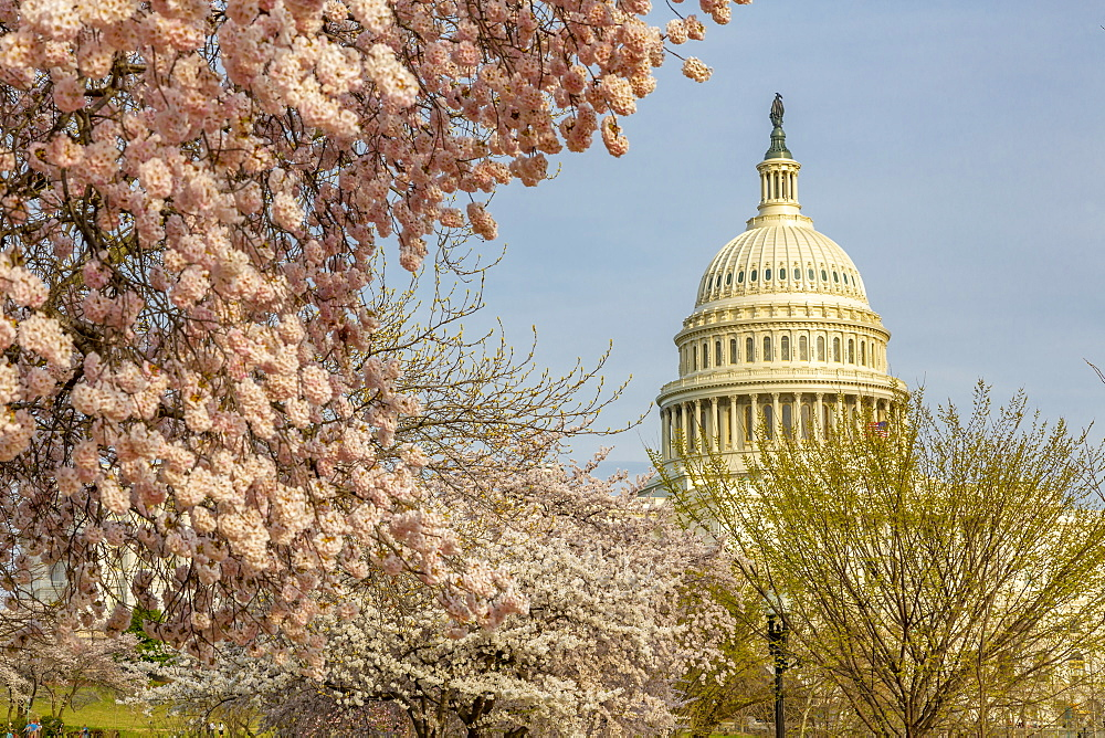 View of the Capitol Building and spring blossom, Washington DC, District of Columbia, United States of America