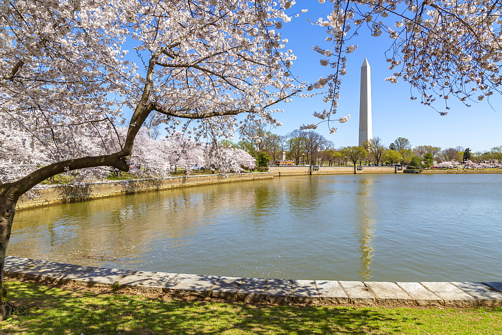 View of the Washington Monument, Tidal Basin and cherry blossom trees in spring, Washington D.C., United States of America, North America