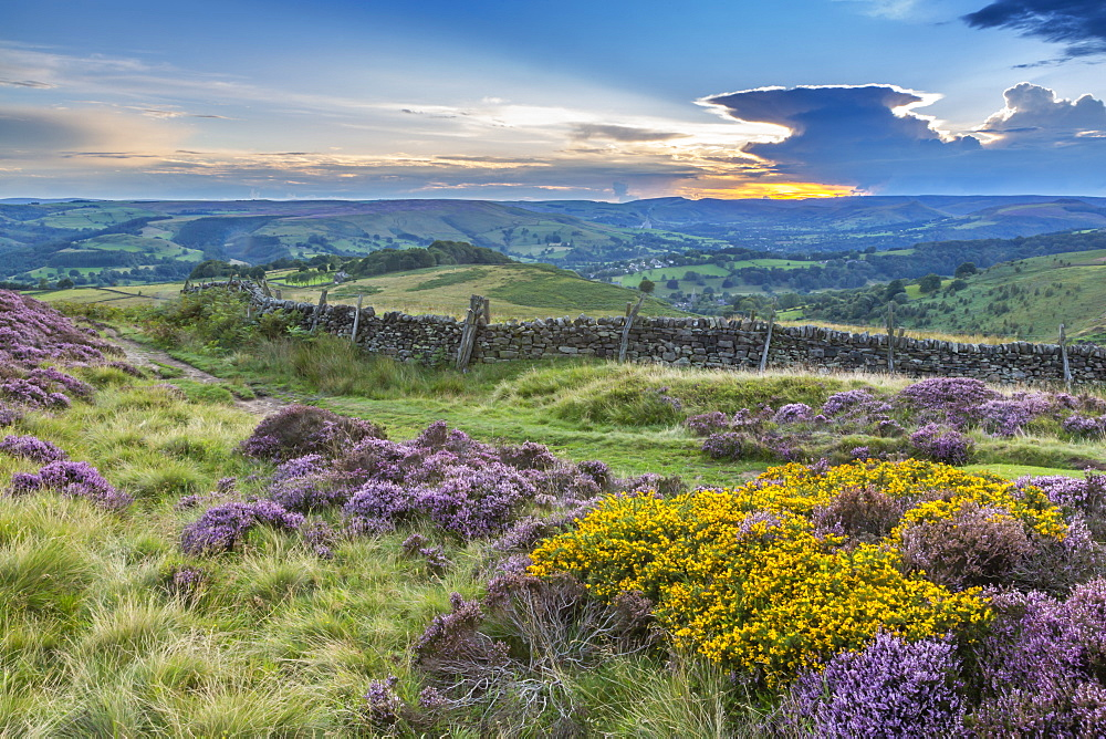 View of flowering heather on Stanage Edge and Hope Valley at sunset, Hathersage, Peak District National Park, Derbyshire, England, United Kingdom, Europe