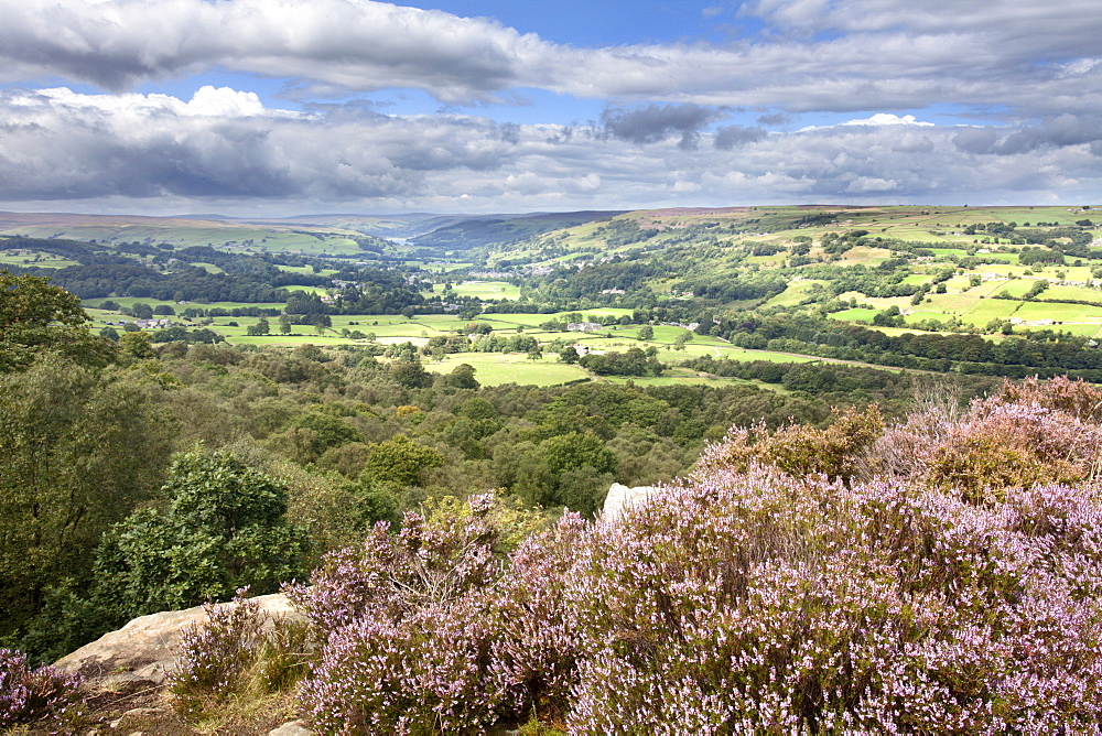 Heather in Bloom on Guise Cliff Overlooking Nidderdale - 845-1029