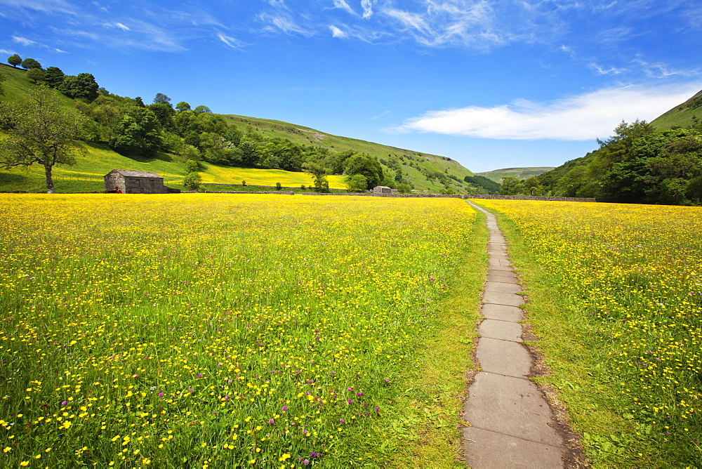 Paved footpath across buttercup meadows at Muker, Swaledale, Yorkshire Dales, Yorkshire, England, United Kingdom, Europe