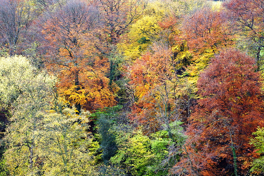 Autumn Trees on Long Walk at Mother Shiptons in Knaresborough North Yorkshire England - 845-904