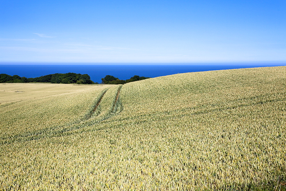 Wheat crop ripening by the North Sea at Osgodby, Scarborough, North Yorkshire, Yorkshire, England, United Kingdom, Europe - 845-966