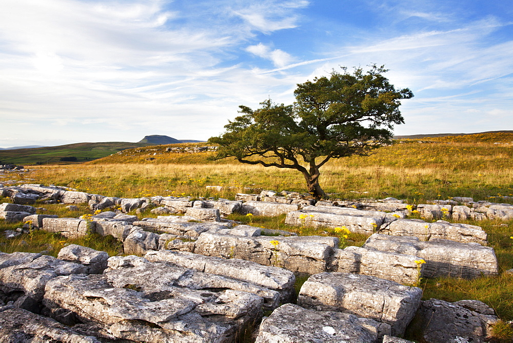 Lone tree at Wilskill Stones with Pen Y Ghent beyond, Settle, Yorkshire, England, United Kingdom, Europe - 845-977