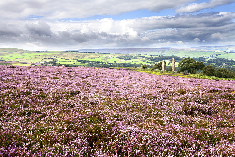 Heather Moorland and Yorkes Folly near Pateley Bridge, Yorkshire, England, United Kingdom, Europe - 845-987