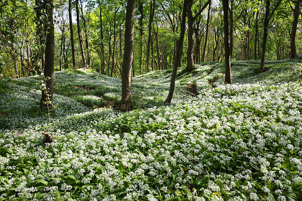 Wild garlic in deciduous woodland, near Chipping Campden, Cotswolds, Gloucestershire, England, United Kingdom, Europe