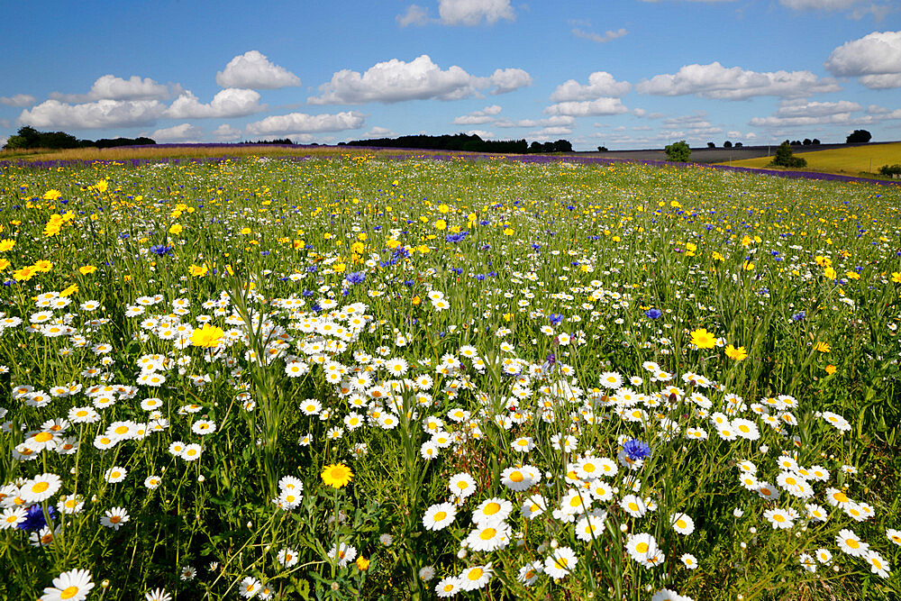 Wild flowers growing on grassland, Snowshilll, Cotswolds, Gloucestershire, England, United Kingdom, Europe