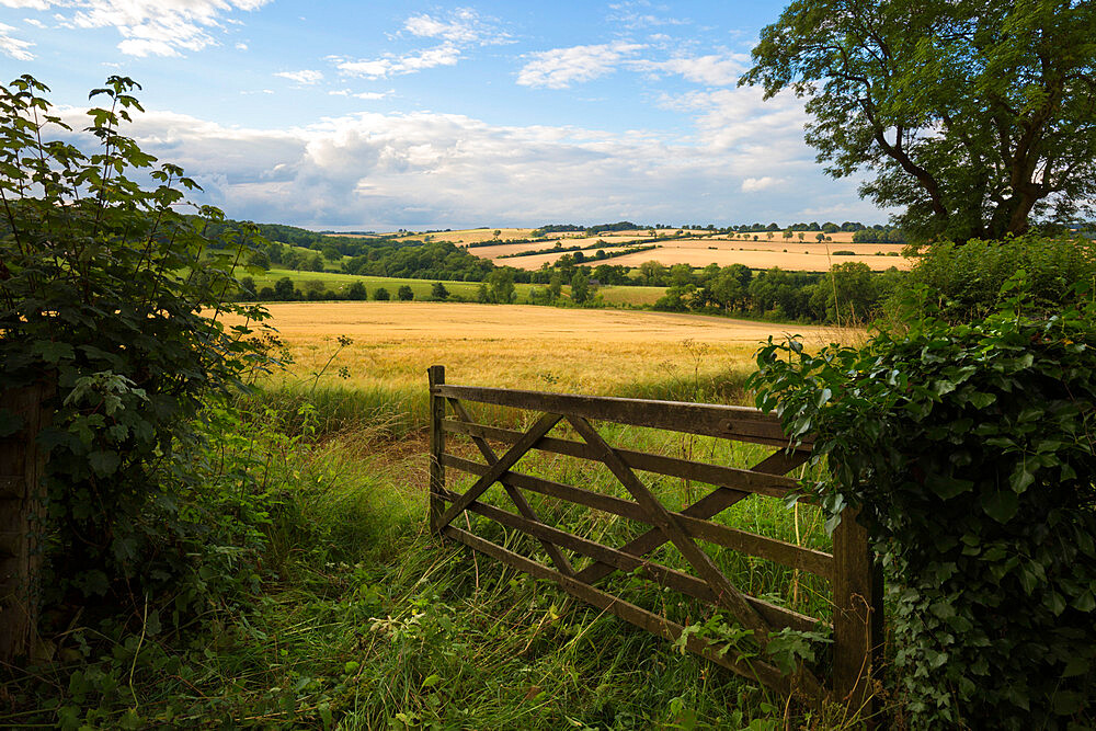 Five bar gate opening on to barley fields, Guiting Power, Cotswolds, Gloucestershire, England, United Kingdom, Europe