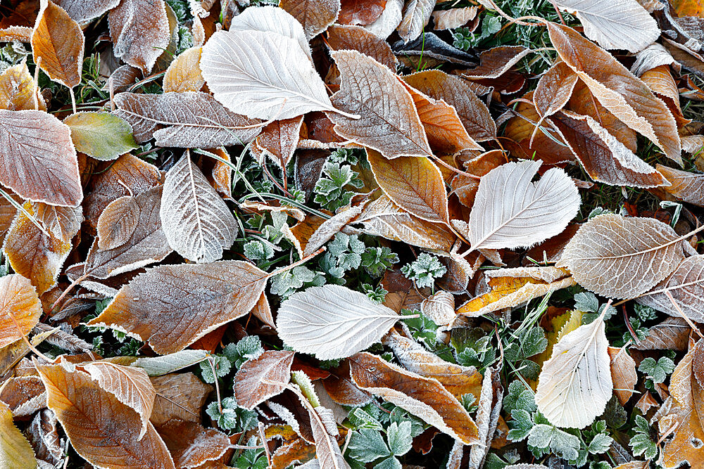 Frost covered leaves, Gloucestershire, England, United Kingdom, Europe