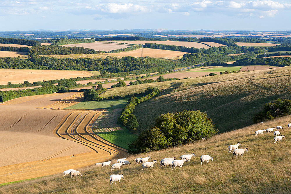 View over summer wheat fields and sheep from top of Beacon Hill, near Highclere, Hampshire, England, United Kingdom, Europe - 846-2737