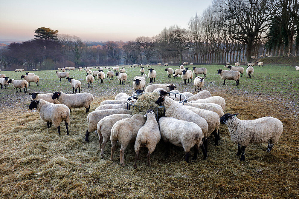 Field of sheep feeding on hay in winter, Burwash, East Sussex, England, United Kingdom, Europe