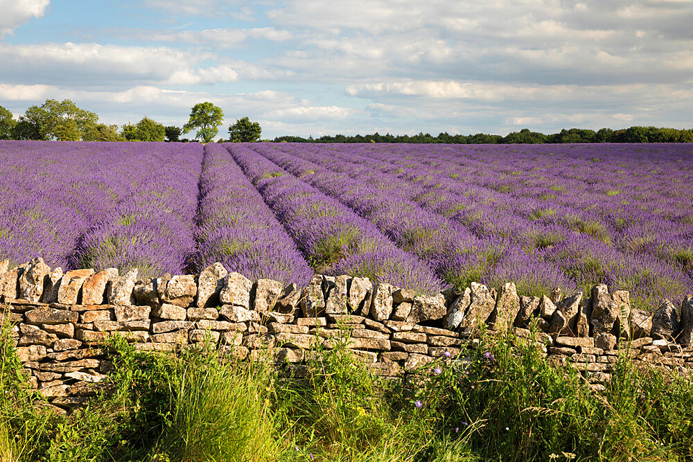 Cotswold Lavender field with Cotswold dry stone wall, Snowshill, Cotswolds, Gloucestershire, England, United Kingdom, Europe