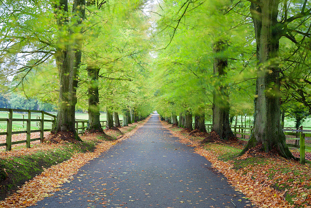 Road leading through avenue of beech trees with fallen autumn leaves, Batsford, Gloucestershire, England, United Kingdom, Europe