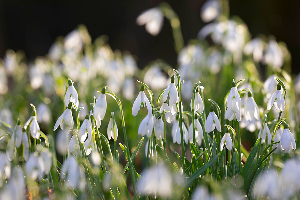 Snowdrops in winter woodland, The Cotswolds, Gloucestershire, England, United Kingdom, Europe - 846-2920