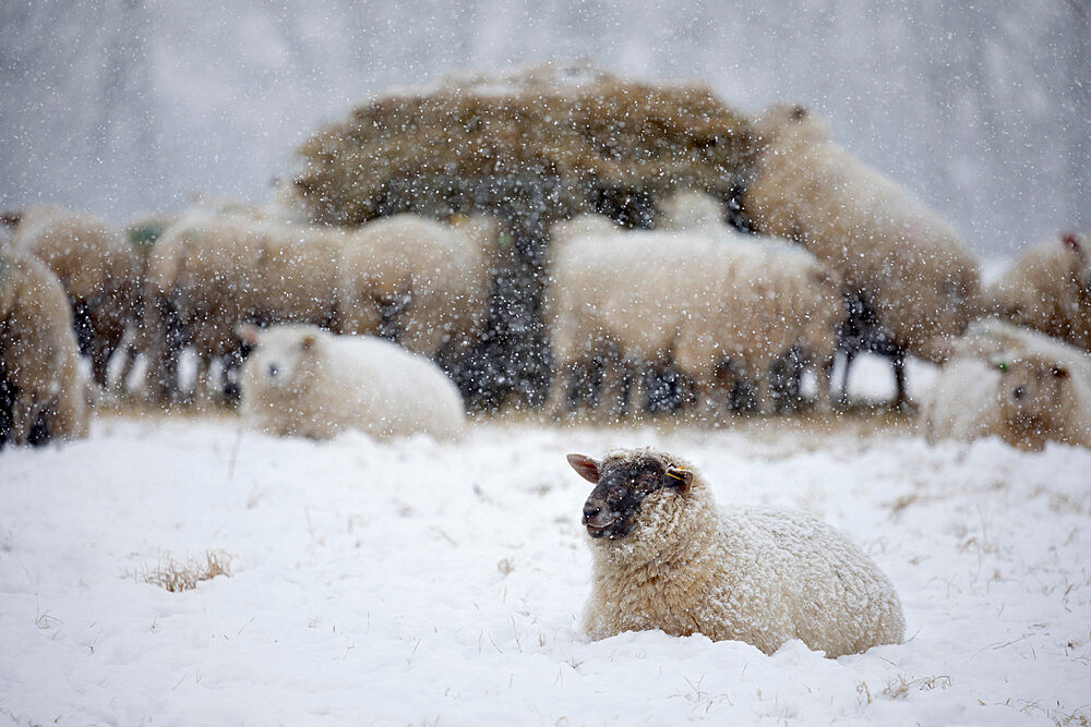 White sheep covered in snow lying down in snow and sheep eating hay, Burwash, East Sussex, England, United Kingdom, Europe - 846-2926