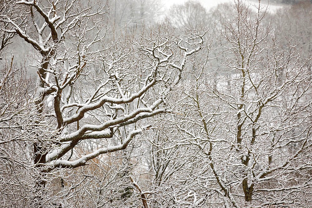 Snow covered tree branches, Burwash, East Sussex, England, United Kingdom, Europe - 846-2927