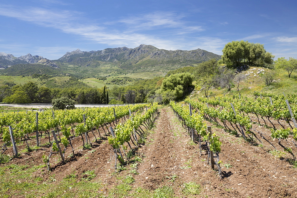 Vineyard set below mountains of the Sierra de Grazalema Natural Park, Zahara de la Sierra, Cadiz Province, Andalucia, Spain, Europe - 846-2950