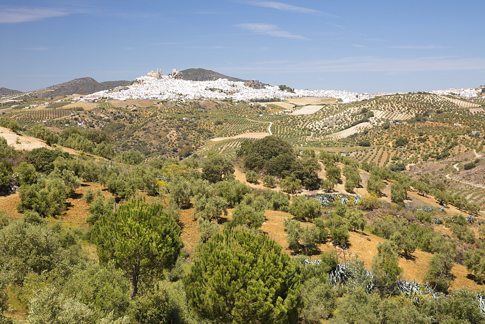 Typical Andalucian landscape with olive groves and white town of Olvera, Cadiz province, Andalucia, Spain, Europe