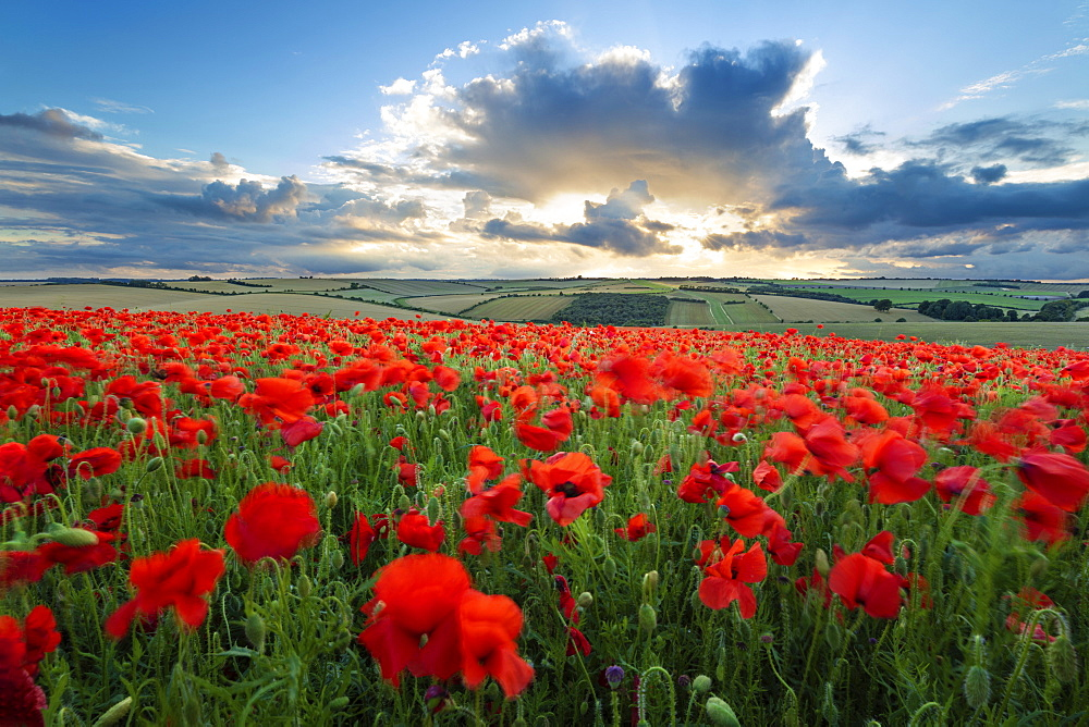 Mass of red poppies growing in field in Lambourn Valley at sunset, East Garston, West Berkshire, England, United Kingdom, Europe
