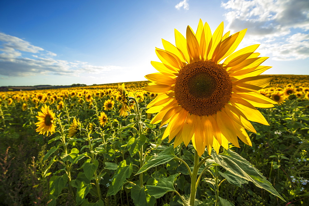 Field full of yellow sunflowers, Newbury, West Berkshire, England, United Kingdom, Europe