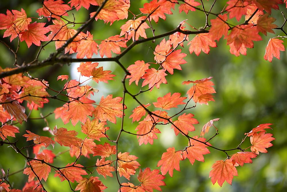 Backlit maple tree leaves in autumnal shades, England, UK