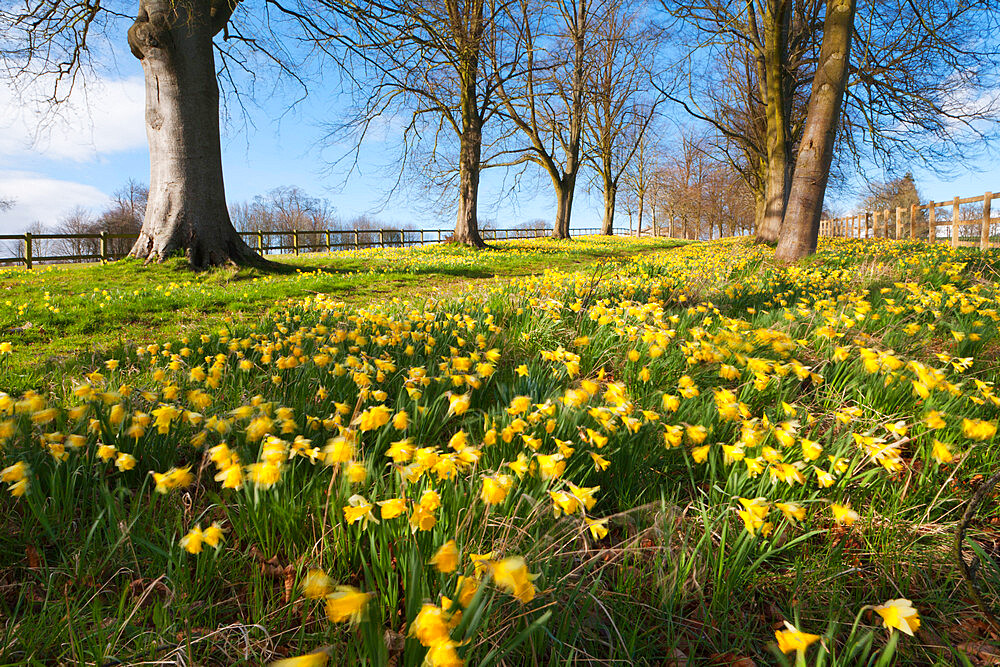 Avenue of daffodils, near Hungerford, Berkshire, England, United Kingdom, Europe - 846-810