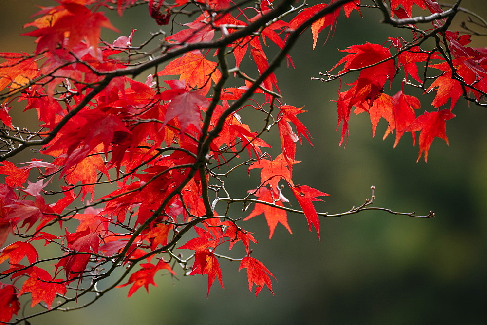 Maple leaves during autumn, Rydal Mount, Rydal, Lake District, Cumbria, England, United Kingdom, Europe