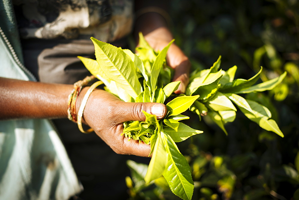 Tamil Woman Tea Picker in a Tea Plantation in the Highlands, Nuwara Eliya, Central Province, Sri Lanka, Asia