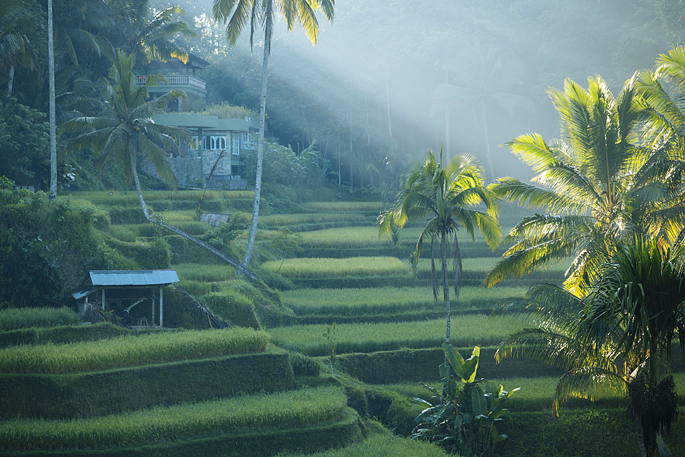 Tegalalang Rice Terraces near Ubud, Bali, Indonesia, Southeast Asia, Asia - 848-1892