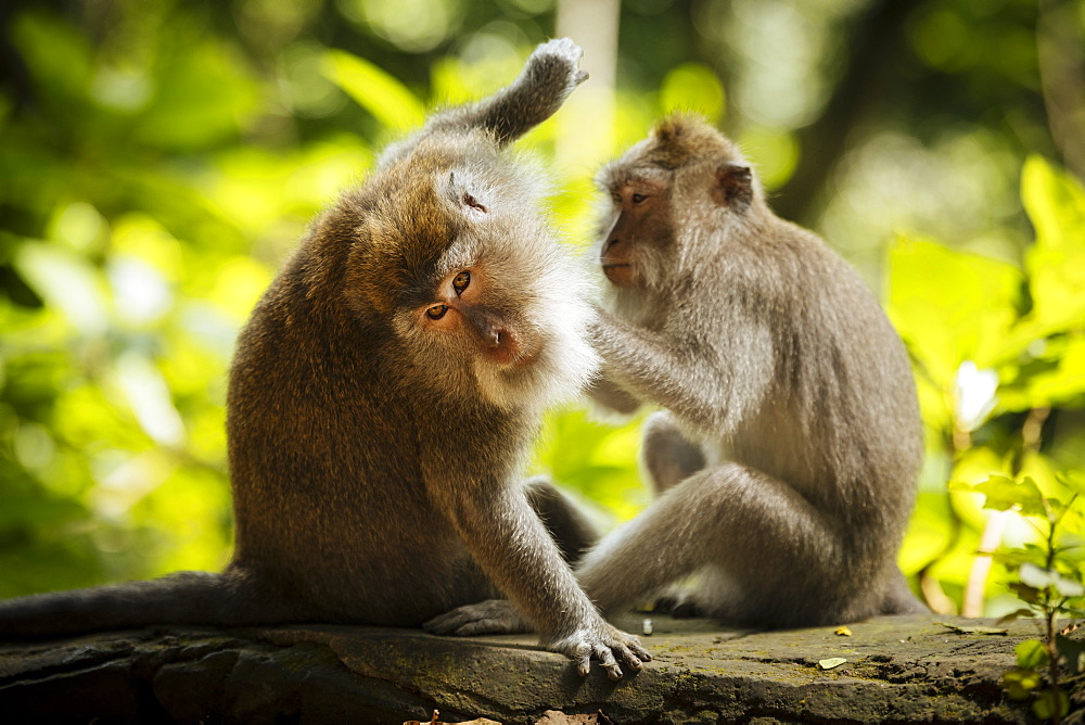 Long Tailed Macaques, Monkey Forest Sanctuary, Ubud, Bali, Indonesia, Southeast Asia, Asia - 848-1896