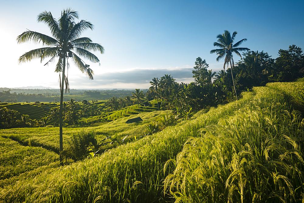 Jatiluwih Rice Terraces, Tabanan, Bali, Indonesia, Southeast Asia, Asia