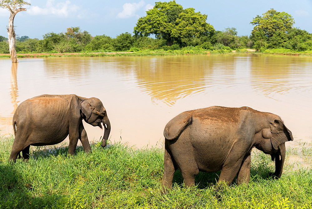 Asian elephants in Udawalawe National Park, Sri Lanka, Asia