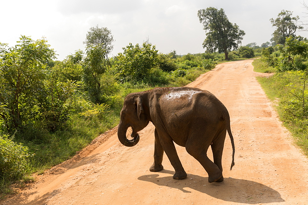 Asian elephant in Udawalawe National Park, Sri Lanka, Asia