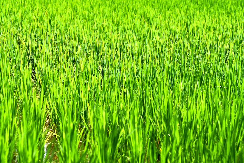Green rice fields in Ubud.