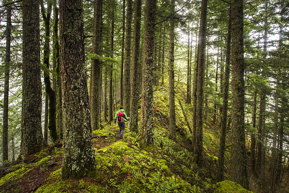 Rear View Of Man Hiking Alone In Forest On A Mossy Ridge
