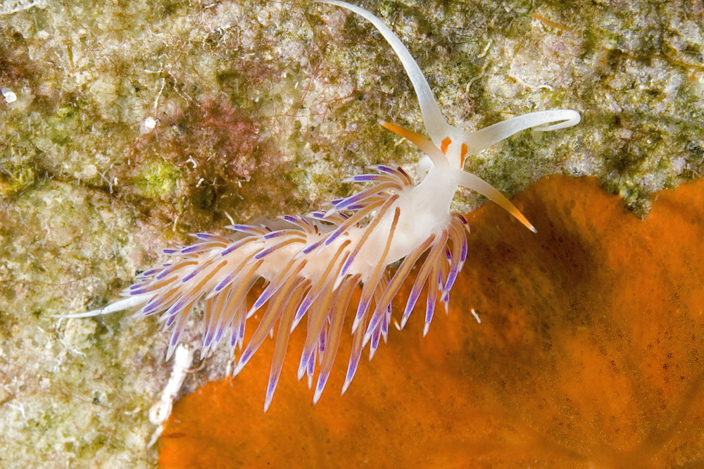 Nudibranch (Cratena peregrina).