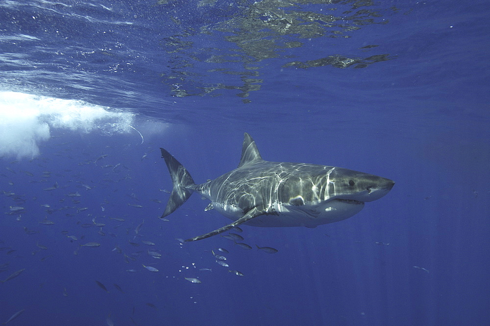 Great White Shark (Carcharodon carcharias) With shoal of fish swimming behind it. Isla Guadalupe, Mexico, Central America. (A4 only).