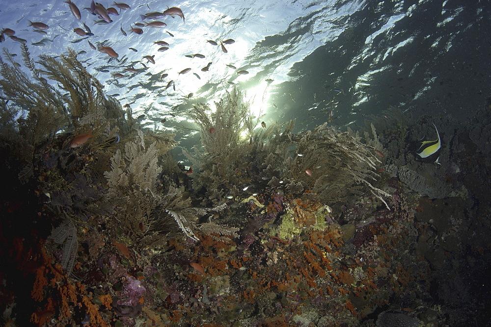 Coral Reef Scene. Wakatobi, Onemobaa Island, Indonesia. (A4 only).