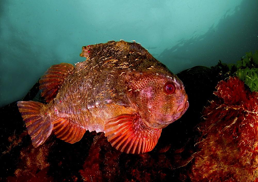 Lumpsucker (Cyclopterus lumpus). Male in breeding colours, swimming amongst seaweed. Babbacombe, Torquay, South Devon, UK.