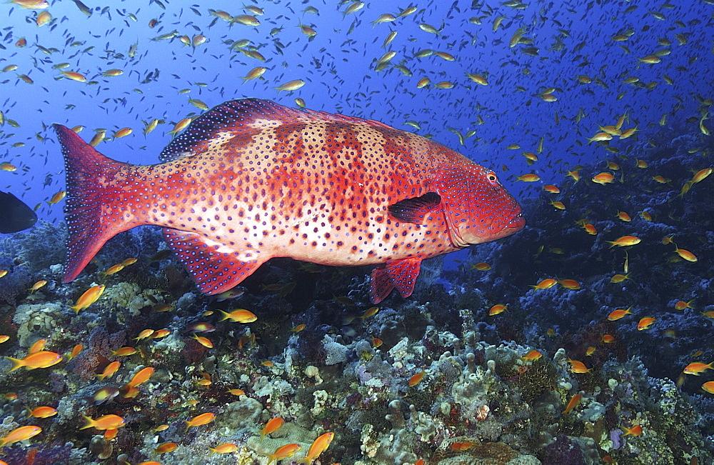 Coral Hind/Trout (Cephalopholi Miniata). Marsa Alarm, Egypt, Red Sea.  (A4 only). - 908-55