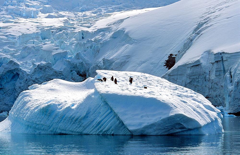 Gentoo Penguins (Pygoscelis papua) sitting on iceberg. Danco Island, Antarctic Peninsula - 909-171