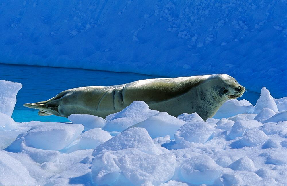 Crabeater Seal (Lobodon carcinophaga) lying and resting on ice. Pléneau Island, Antarctica - 909-181