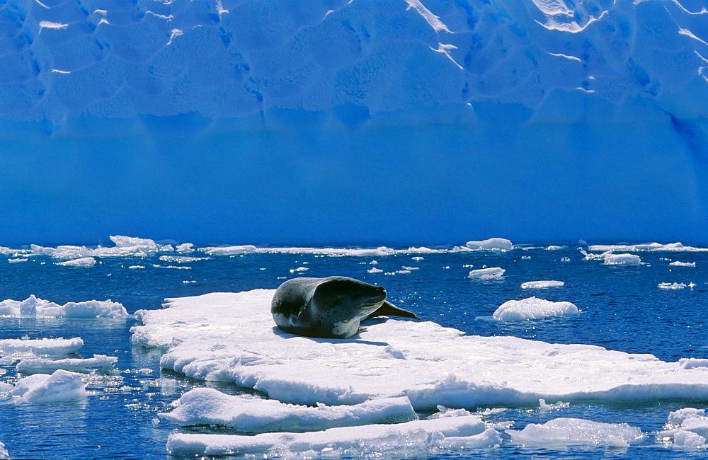 Leopard Seal (Hydruga leptonyx) lying and resting on ice. Pléneau Island, Antarctica - 909-185