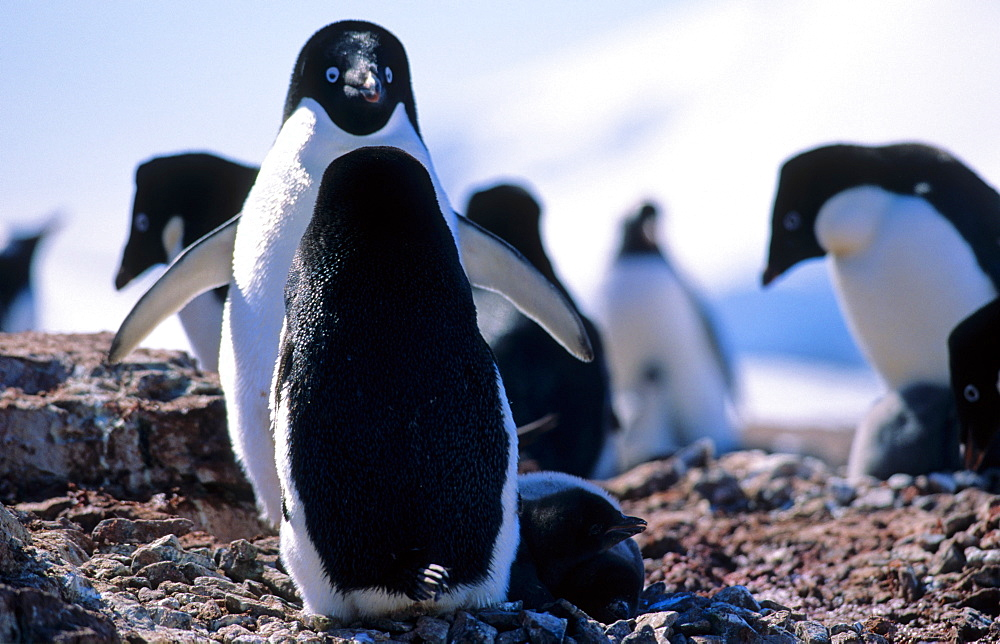 Adélie Penguins (Pygoscelis adeliae) standing face to face. Petermann Island, Antarctica - 909-189