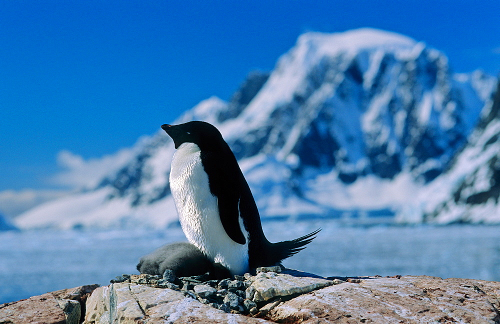 Adult Adélie Penguin (Pygoscelis adeliae) with chick lying down in an Antarctic secenery. Petermann Island, Antarctica - 909-193