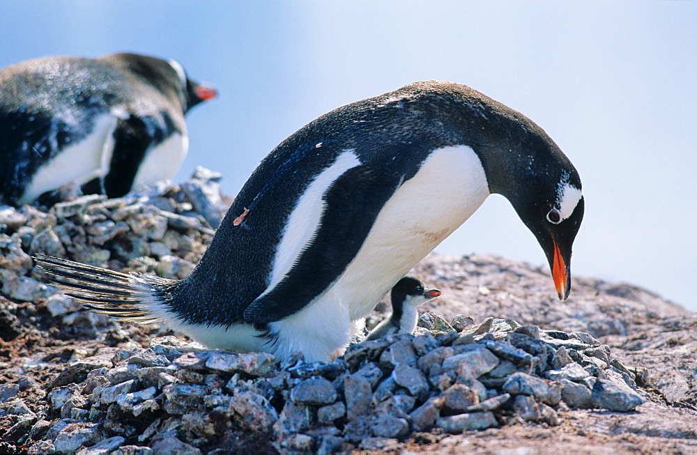 Adult Gentoo Penguin (Pygoscelis papua) sitting with chick on its nest. Cuverville Island, Antarctica - 909-197