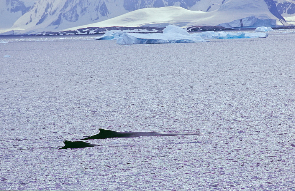Two humpback whales (Megaptera novaeangliae) swimming in front of an icy coastline. Cuverville Island, Antarctica - 909-200