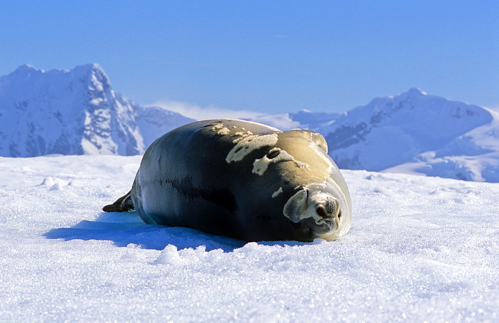 Crabeater Seal (Lobodon carcinophaga) lying and resting on ice. Paradise Harbour, Antarctica - 909-204