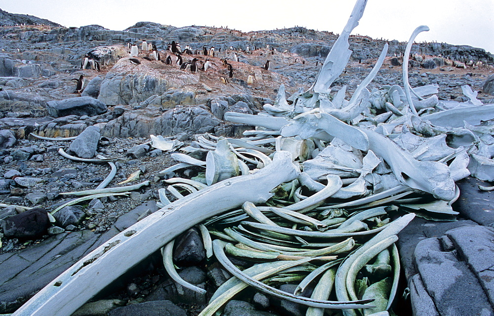 Whalebones - relicts from early whaling in the Deep South. Wiencke Island, Antarctic Peninsula  - 909-205