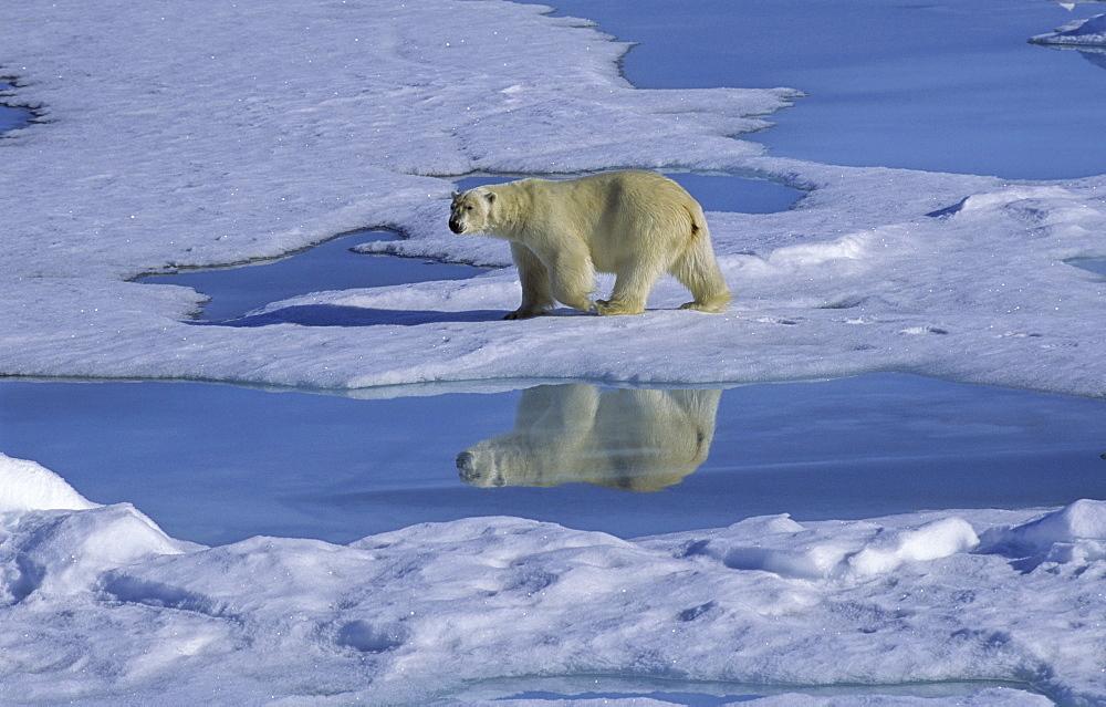 Polar Bear (Ursus Maritimus) and its mirroring when walking along a meltwater pond. North Spitsbergen, Svalbard